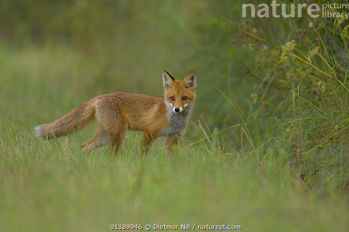 Juvenile red fox (Vulpes vulpes) in a field, Latvia  ,  CANIDS,CARNIVORES,CIS,EUROPE,FOXES,GRASS,JUVENILE,LATVIA,MAMMALS,PORTRAITS,VERTEBRATES,Plants,Dogs  ,  Dietmar Nill