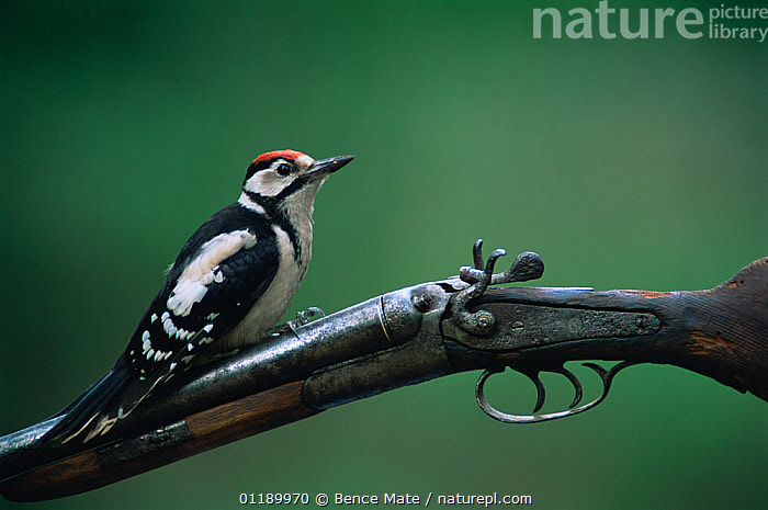 Greater spotted (Dendrocopos major) juvenile perched on gun, Hungary.  ,  ANIMAL,VERTEBRATE,BIRDS,WOODPECKER,GREAT SPOTTED WOODPECKER,ANIMALIA,ANIMAL,WILDLIFE,VERTEBRATE,CHORDATE,AVES,BIRDS,PICIFORMES,PICIDAE,DENDROCOPOS,WOODPECKER,PICINAE,DENDROCOPOS MAJOR,GREAT SPOTTED WOODPECKER,GREATER SPOTTED WOODPECKER,GREATER PIED WOODPECKER,EUROPE,EASTERN EUROPE,EAST EUROPE,HUNGARY,COPY SPACE,YOUNG ANIMAL,JUVENILE,NEGATIVE SPACE  ,  Bence  Mate