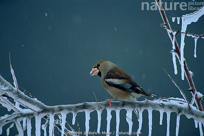 Hawfinch (Coccothraustes coccothraustes) on icy branch in rain, Hungary.  ,  ANIMAL,VERTEBRATE,BIRDS,SONGBIRD,TRUE FINCH,HOLARCTIC GROSBEAK,HAWFINCH,ANIMALIA,ANIMAL,WILDLIFE,VERTEBRATE,CHORDATE,AVES,BIRDS,PASSERIFORMES,SONGBIRD,PASSERINE,FRINGILLIDAE,TRUE FINCH,FINCH,COCCOTHRAUSTES,HOLARCTIC GROSBEAK,CARDUELINE FINCH,CARDUELINAE,COCCOTHRAUSTES COCCOTHRAUSTES,HAWFINCH,LOXIA COCCOTHRAUSTES,TEMPERATURE,COLD,CHILL,CHILLY,EUROPE,EASTERN EUROPE,EAST EUROPE,HUNGARY,COPY SPACE,ICE,ICICLE,ICICLES,WEATHER,RAINING,RAIN,WINTER,NEGATIVE SPACE  ,  Bence  Mate