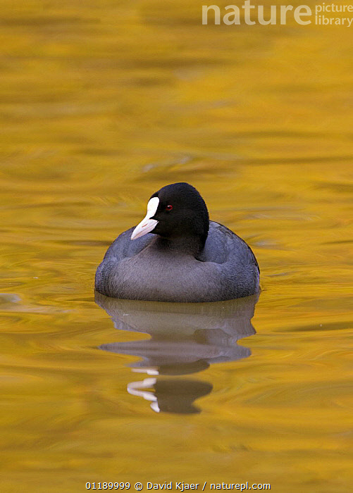 Coot (Fulica atra) swimming on water reflecting autumn colours, Gloucestershire, England  ,  BIRDS,COOTS,EUROPE,GOLD,REFLECTIONS,UK,VERTEBRATES,VERTICAL,WATERFOWL,United Kingdom,British  ,  David Kjaer