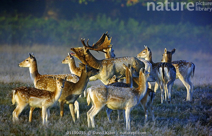 Fallow Deer (Dama dama) buck or male bellowing, with hinds or females and juvenile on a frosty misty morning during autumn 'rut' in Richmond Park, London, England  ,  ARTIODACTYLA,DEER,EUROPE,FAMILIES,FROST,GROUPS,MALE FEMALE PAIR,MAMMALS,PARKLAND,UK,VERTEBRATES,VOCALISATION,United Kingdom,Weather,British  ,  David Kjaer