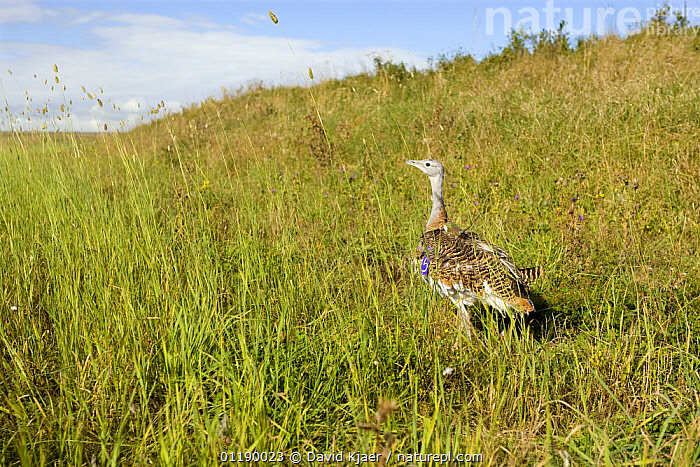 Great Bustard {Otis tarda} shortly after release on Salisbury Plain, Wiltshire, UK. Part of a reintroduction program with birds imported as chicks from Russia 2007. note: satellite tracking transmitter can be seen on the birds back.  ,  BIRDS,BUSTARDS,CONSERVATION,EUROPE,GRASSLANDS,INTRODUCTION,RESEARCH,TAGGING,UK,VERTEBRATES,United Kingdom,British  ,  David Kjaer
