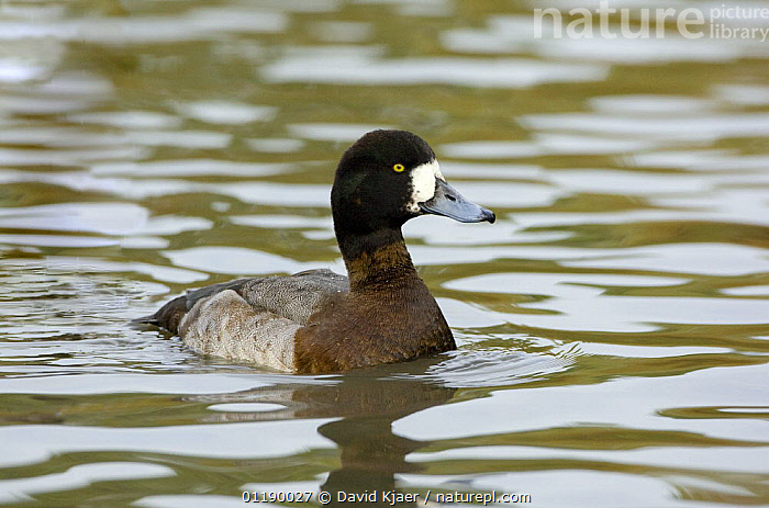 Greater Scaup (Aythya marila) female, native to the Northern Hemisphere  ,  BIRDS,DUCK,DUCKS,FEMALES,VERTEBRATES,WATERFOWL,Wildfowl  ,  David Kjaer
