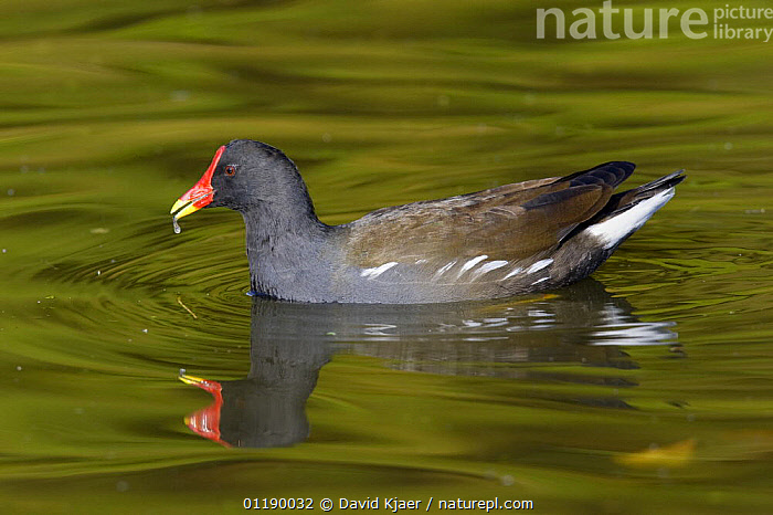 Moorhen (Gallinula chloropus) Gloucestershire, England  ,  BIRDS,DRINKING,EUROPE,MOORHENS,PROFILE,REFLECTIONS,UK,VERTEBRATES,WATER,WATERFOWL,United Kingdom,British  ,  David Kjaer