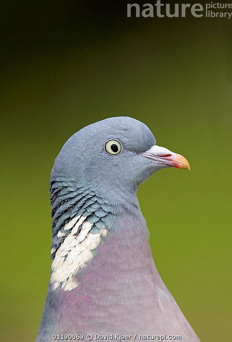 Wood Pigeon (Columba palumbus) portrait, Gloucestershire, England  ,  BIRDS,DOVES,EUROPE,PIGEONS,PORTRAITS,UK,VERTEBRATES,VERTICAL,United Kingdom,British , woodpigeon, United Kingdom  ,  David Kjaer