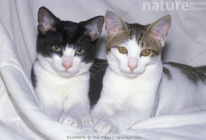 Two Domestic cat kittens, one black and white, one tabby and white.  ,  cat,CATS,CUTE,kitten,Pair,PETS,VERTEBRATES  ,  Rob Tilley