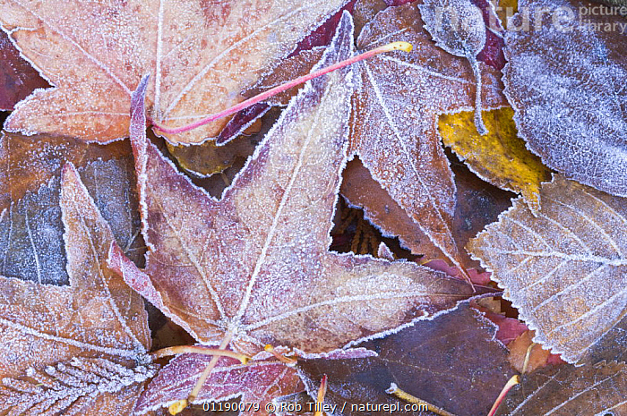 Frost on fallen Autumn Leaves, Washington, USA  ,  arty,AUTUMN,FROST,LEAVES,Maple,WINTER,Weather  ,  Rob Tilley