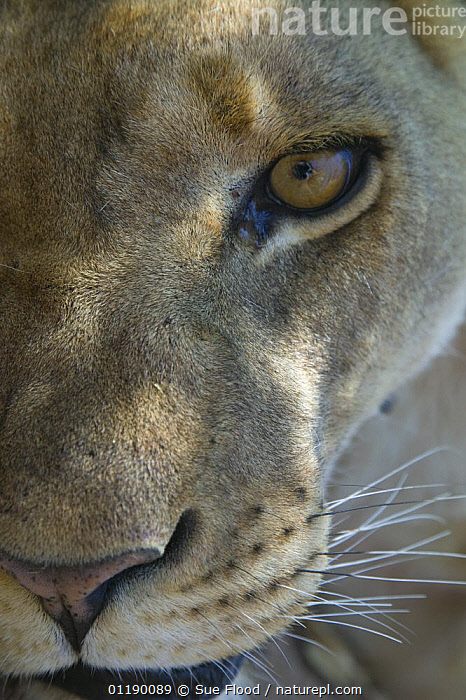 Half face of African lioness (Panthera leo) in the desert, Namibia  ,  BIG CATS,CARNIVORES,FACES,FEMALES,LIONS,MAMMALS,NAMIBIA,PORTRAITS,SOUTHERN AFRICA,VERTEBRATES,VERTICAL  ,  Sue Flood