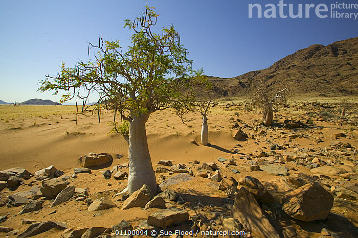 Trees in the desert at Sossuvlei, Namib Desert, Namibia  ,  AFRICA,DESERTS,LANDSCAPES,SOUTHERN AFRICA,TREES,Plants  ,  Sue Flood