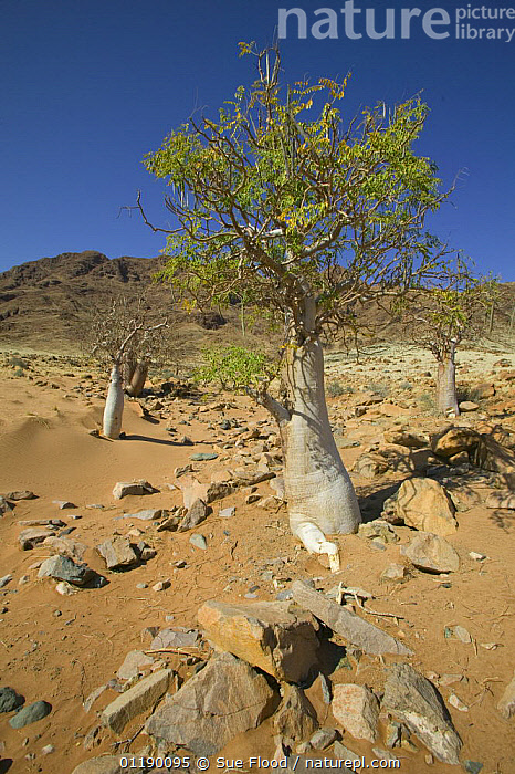 Trees in the desert at Sossuvlei, Namib Desert, Namibia  ,  AFRICA,DESERTS,LANDSCAPES,SOUTHERN AFRICA,TREES,VERTICAL,Plants  ,  Sue Flood