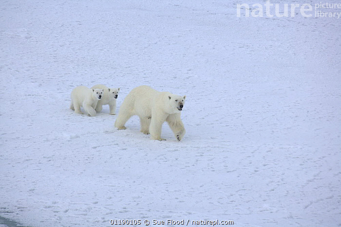 Polar bear (Ursus maritimus) mother and two cubs, July 2007  ,  ARCTIC,BABIES,BEARS,CARNIVORES,CUTE,FAMILIES,ICE,MAMMALS,MOTHER BABY,SNOW,SUMMER,THREE,VERTEBRATES,WALKING  ,  Sue Flood