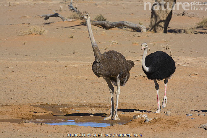 Two ostriches (Struthio camelus) beside a drinking pool near the Sossusvlei dunes, Namibia  ,  BIRDS,DESERTS,FLIGHTLESS BIRDS,NAMIBIA,OSTRICHES,PORTRAITS,SOUTHERN AFRICA,TWO,VERTEBRATES,WATERHOLES  ,  Sue Flood