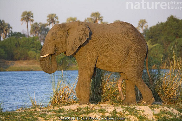 African elephant (Loxodonta africana) with penis extended, Zimbabwe  ,  ELEPHANTS,ENDANGERED,LAKES,MALES,MAMMALS,PENIS,PORTRAITS,PROBOSCIDS,PROFILE,SEX ORGANS,SOUTHERN AFRICA,VERTEBRATES  ,  Sue Flood