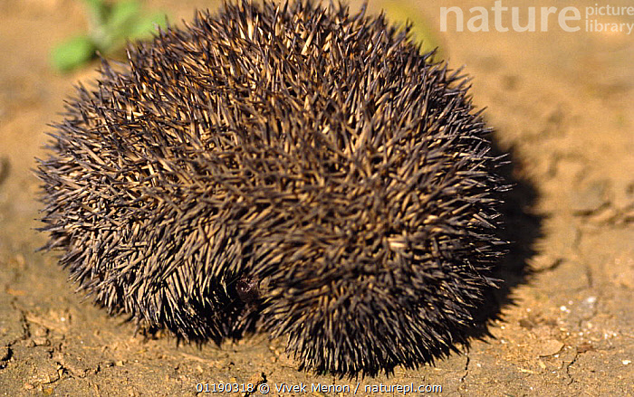 Indian Hedgehog (Paraechinus micropus) curled up in defensive ball. Rajasthan, India  ,  BEHAVIOUR,DEFENSIVE,DESERTS,HEDGEHOGS,INDIAN SUBCONTINENT,INSECTIVORES,MAMMALS,PORTRAITS,PROTECTION,SPINES,VERTEBRATES,Asia  ,  Vivek Menon