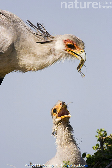 Secretary bird {Sagittarius serpentarius} adult brings grasshopper prey to chick in nest, East Africa  ,  BEHAVIOUR,BIRDS,CHICKS,EAST AFRICA,FAMILIES,FEEDING,INSECTS,JUVENILE,LOCUST,NESTING BEHAVIOUR,NESTS,ORTHOPTERA,VERTEBRATES,VERTICAL,Africa,Reproduction,Invertebrates  ,  Anup Shah