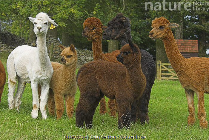 Group of Alpacas (Lama pacos) in farm field, UK  ,  ARTIODACTYLA,CAMELIDS,EUROPE,FARMLAND,GROUPS,JUVENILE,LIVESTOCK,LLAMAS,MAMMALS,UK,VERTEBRATES,United Kingdom,British  ,  Colin Seddon