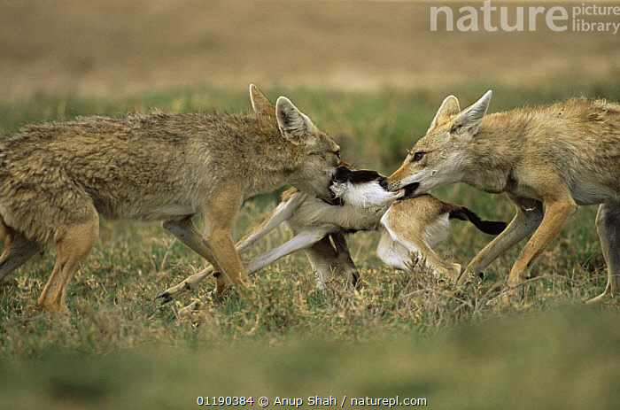 Pair of Golden jackal {Canis aureus} fight over Gazelle kill, Ngorongoro conservation area, Tanzania  ,  ARTIODACTYLA,BEHAVIOUR,CANIDS,CARNIVORES,DEATH,East Africa,FEEDING,FIGHTING,JACKALS,MAMMALS,PREDATION,RESERVE,VERTEBRATES,Africa,Aggression,Dogs,Concepts  ,  Anup Shah
