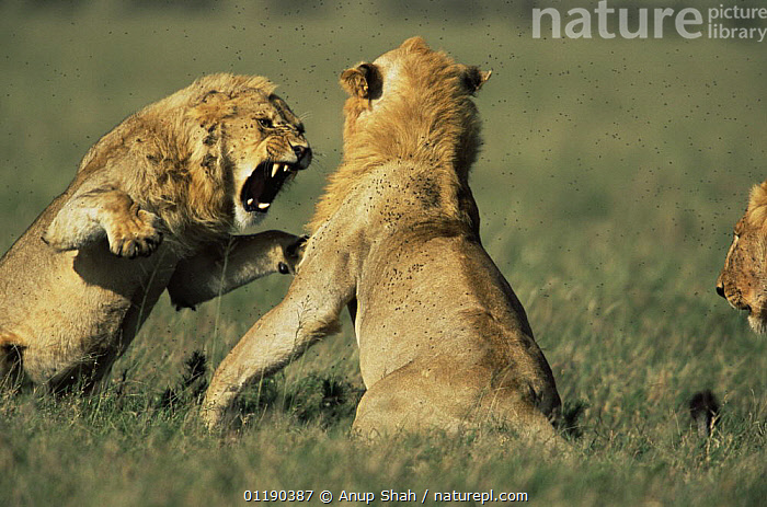 Two male African lions {Panthera leo} fighting near kill, Serengeti NP, Tanzania  ,  AGGRESSION,BEHAVIOUR,BIG CATS,CARNIVORES,East Africa,lion,LIONS,MAMMALS,RESERVE,snarling,TEETH,VERTEBRATES,vocalisation,Africa,Concepts,Catalogue1,,Serengeti National Park, UNESCO World Heritage Site,  ,  Anup Shah