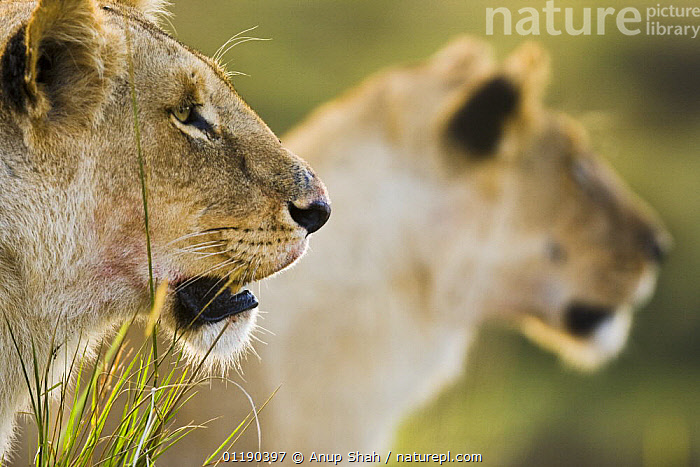 African lion {Panthera leo} two lioness on hunt, Masai Mara GR, Kenya  ,  CARNIVORES,East Africa,FEMALES,HEADS,lioness,LIONS,MAMMALS,PORTRAITS,PROFILE,RESERVE,VERTEBRATES,Africa,Big Cats  ,  Anup Shah