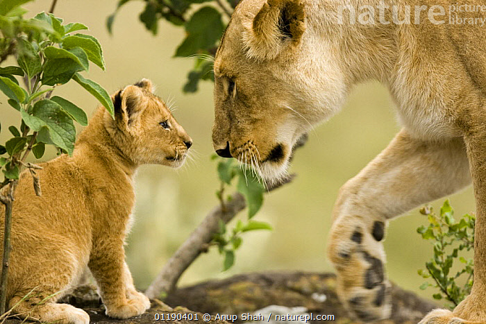 African lion {Panthera leo} young cub, two months old, with lioness, Masai Mara GR, Kenya  ,  BABIES,CARNIVORES,CUTE,East Africa,FAMILIES,LIONS,MAMMALS,PORTRAITS,PROFILE,RESERVE,VERTEBRATES,Africa,Big Cats  ,  Anup Shah