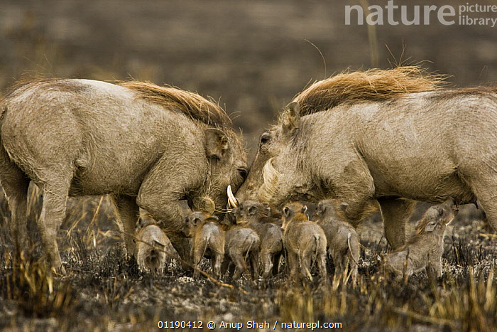 Warthog family {Phacochoerus aethiopicus} pair with young on burnt ground, Masai Mara GR, Kenya  ,  ARTIODACTYLA,BABIES,BEHAVIOUR,East Africa,FAMILIES,FIRE,HOGS,male female pair,MAMMALS,RESERVE,SUCKLING,SUIDS,two,VERTEBRATES,Africa  ,  Anup Shah