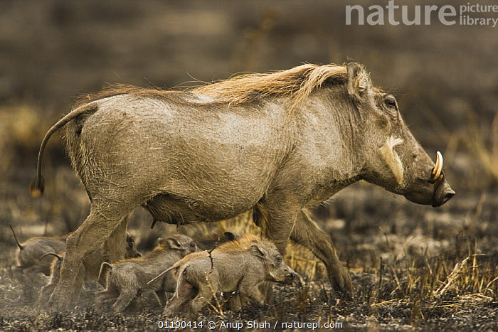 Warthog {Phacochoerus aethiopicus} female with young on burnt ground, Masai Mara GR, Kenya  ,  ARTIODACTYLA,BABIES,East Africa,FAMILIES,FIRE,HOGS,MAMMALS,PROFILE,RESERVE,SUIDS,VERTEBRATES,Africa  ,  Anup Shah