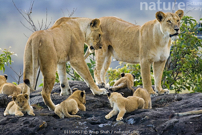 African lion {Panthera leo} two lionesses with young cubs on rock / kopje, Masai Mara GR, Kenya  ,  BABIES,CARNIVORES,CUTE,East Africa,FAMILIES,GROUPS,lioness,LIONS,MAMMALS,RESERVE,VERTEBRATES,Africa,Big Cats  ,  Anup Shah