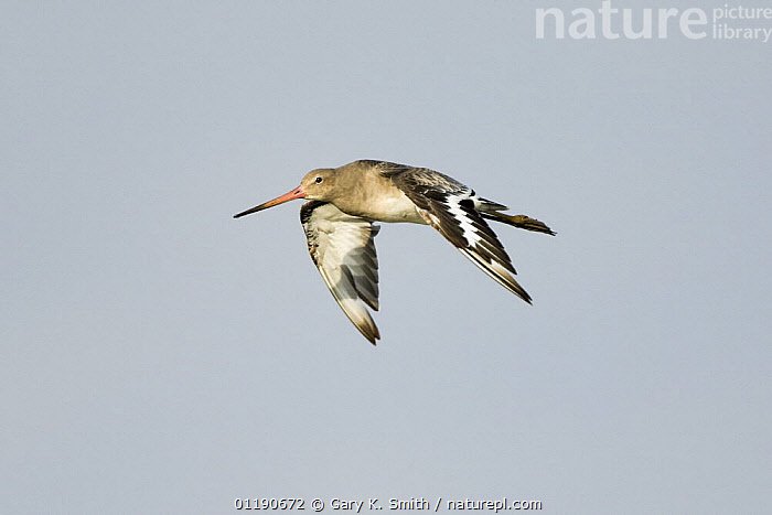 Black Tailed Godwit (Limosa limosa) in flight, UK  ,  BEHAVIOUR,BIRDS,ENGLAND,EUROPE,FLYING,GODWITS,UK,VERTEBRATES,WADERS,United Kingdom,British  ,  Gary K. Smith