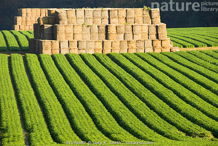 Carrot (Daucus carota) field with straw stacks prior to crop being clamped for winter, Norfolk, England, UK, October  ,  AGRICULTURE,APIACEAE,AUTUMN,CROPS,DICOTYLEDONS,ENGLAND,EUROPE,FARMLAND,LANDSCAPES,PLANTS,UK,UMBELLIFERAE,United Kingdom,British  ,  Gary K. Smith