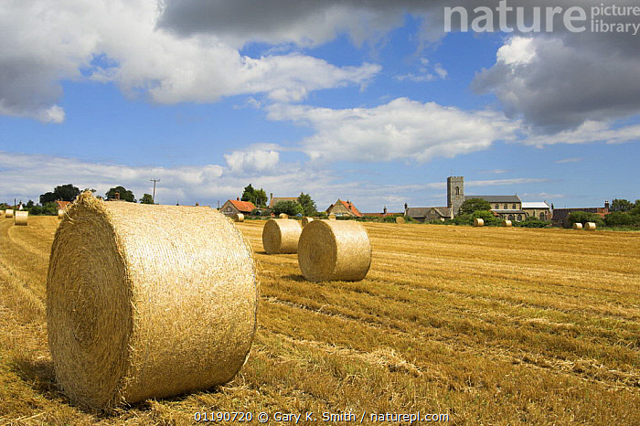 Round straw bales (Triticum genus) in traditional harvest scene with village church in background, Wighton, North Norfolk, England, August  ,  AGRICULTURE,COUNTRYSIDE,ENGLAND,EUROPE,FARMING,FARMLAND,HARVEST,LANDSCAPES,STUBBLE,SUMMER,TRADITIONAL,UK,VILLAGES,WHEAT,United Kingdom,British  ,  Gary K. Smith