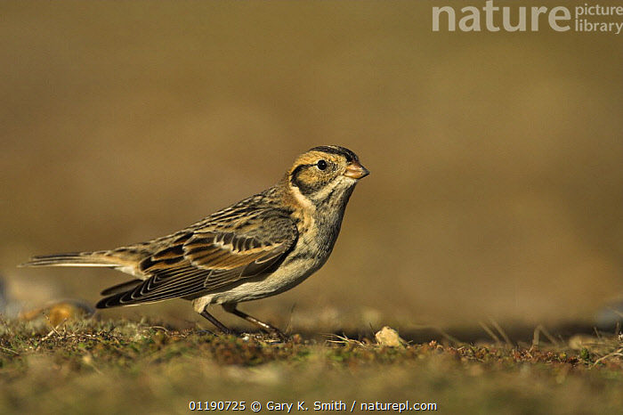 Lapland Bunting (Calcarius lapponicus) male showing winter plumage, migrant on North Norfolk coast, England, UK, December.  ,  BIRDS,BUNTINGS,ENGLAND,EUROPE,MALES,UK,VERTEBRATES,WINTER,United Kingdom,British  ,  Gary K. Smith