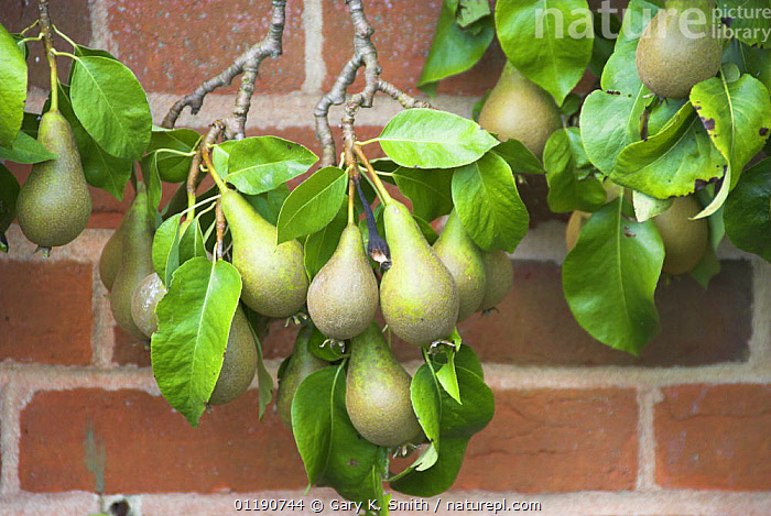 Cordon Pear (Pyrus communis) variety 'Conference' ripening fruit growing in walled garden, England, UK, August  ,  AGRICULTURE,CROPS,DICOTYLEDONS,ENGLAND,EUROPE,FOOD,FRUIT,PEARS,PLANTS,ROSACEAE,SUMMER,UK,United Kingdom,British  ,  Gary K. Smith