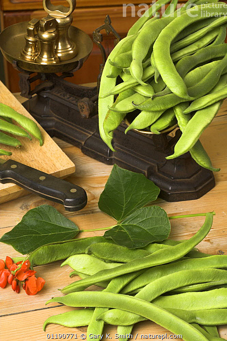 Home grown Runner Beans (Phaseolus sp.) in traditional country kitchen with rustic weighing scales, England, UK  ,  DICOTYLEDONS,ENGLAND,EUROPE,FABACEAE,INGREDIENTS,LEGUME,PLANTS,RURAL,RUSTIC,TRADITIONAL,UK,VEGETABLES,VERTICAL,United Kingdom,British  ,  Gary K. Smith