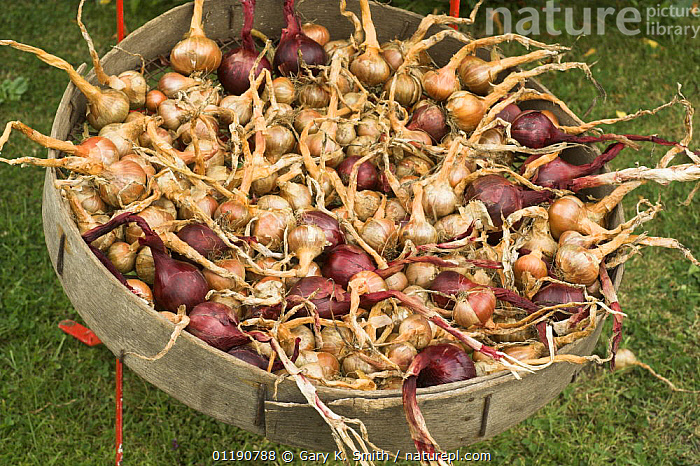 Home grown shallots (Allium oschaninii) and red onions (Allium cepa) drying outside in a sieve, England, UK, August  ,  AGRICULTURE,CROPS,ENGLAND,EUROPE,FOOD,INGREDIENTS,LILIACEAE,MONOCOTYLEDONS,PLANTS,SUMMER,UK,VEGETABLES,United Kingdom,British  ,  Gary K. Smith