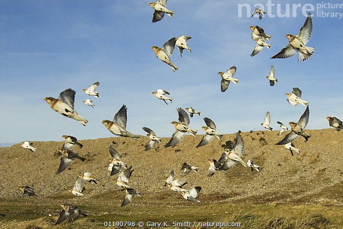 Snow Buntings (Plectrophenax nivalis) flock circling over feeding area on coastal saltings, North Norfolk, England, UK, February, BEHAVIOUR,BIRDS,BUNTINGS,ENGLAND,EUROPE,FLOCKS,FLYING,UK,VERTEBRATES,WINTER,United Kingdom,British,WEATHER, Gary K. Smith