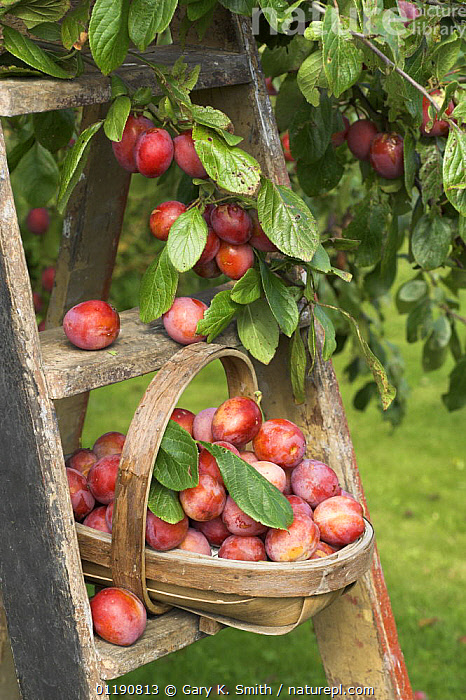 Victoria plums (Prunus domestica) freshly picked in a trug in a country garden, England, UK, August  ,  AGRICULTURE,CROPS,DICOTYLEDONS,EDIBLE,ENGLAND,EUROPE,FARMING,FOOD,FRUIT,HARVEST,ORCHARDS,PLANTS,RED,RIPE,ROSACEAE,SUMMER,TRADITIONAL,UK,VERTICAL,United Kingdom,British  ,  Gary K. Smith