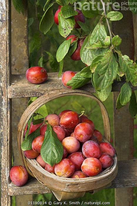 Victoria plums (Prunus domestica) freshly picked in a trug in a country garden, England, UK, August  ,  AGRICULTURE,CROPS,DICOTYLEDONS,EDIBLE,ENGLAND,EUROPE,FARMING,FOOD,FRUIT,HARVEST,PLANTS,RED,RIPE,ROSACEAE,RUSTIC,SUMMER,TRADITIONAL,UK,VERTICAL,United Kingdom,British  ,  Gary K. Smith