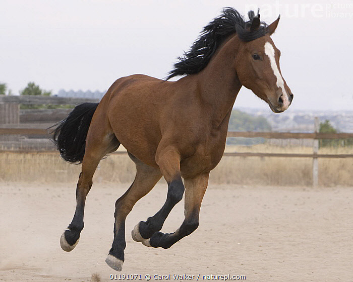 Bay Morgan gelding running in paddock, Falcon, Colorado, USA  ,  BEHAVIOUR,CANTERING,HORSE,HORSES,MOVEMENT,USA,North America,Equines ,HORSES,PERISSODACTYLA,VERTEBRATES,MAMMALS  ,  Carol Walker