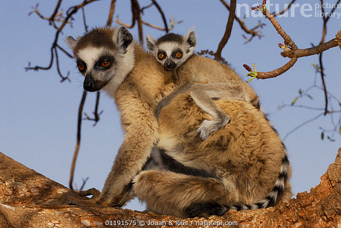 Female Ring-tailed lemur (Lemur catta) carrying young on back, dry forest of Berenty reserve, South Madagascar, AFRICA,BABIES,CUTE,FAMILIES,LEMURS,MADAGASCAR,MAMMALS,MOTHER BABY,PORTRAITS,PRIMATES,RESERVE,VERTEBRATES, Jouan & Rius
