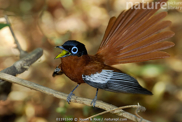 Male Madagascar paradise flycatcher (Terpsiphone mutata) singing and displaying, dry forest of Berenty reserve, Madagascar South, AFRICA,BEHAVIOUR,BIRDS,DISPLAY,FLYCATCHERS,MADAGASCAR,MALES,RESERVE,TAILS,VERTEBRATES,VOCALISATION,WINGS,Communication,Catalogue1, Jouan & Rius