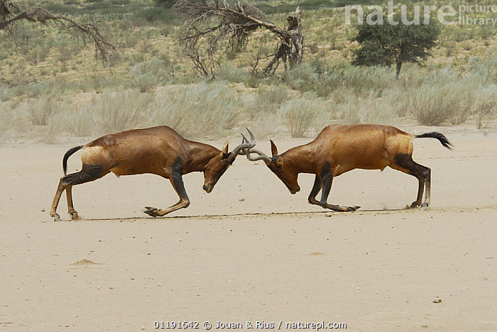 Male Red hartebeest (Alcelaphus buselaphus) fighting, Kgalagadi Transfrontier Park, Kalahari desert, South Africa  ,  AGGRESSION,ARTIODACTYLA,BEHAVIOUR,BOVIDS,DESERTS,DOMINANCE,FIGHTING,HARTEBEESTS,HORNS,MALES,MAMMALS,NATIONAL PARK,RESERVE,SOUTH AFRICA,SOUTHERN AFRICA,VERTEBRATES,Concepts,Antelopes,Catalogue1  ,  Jouan & Rius