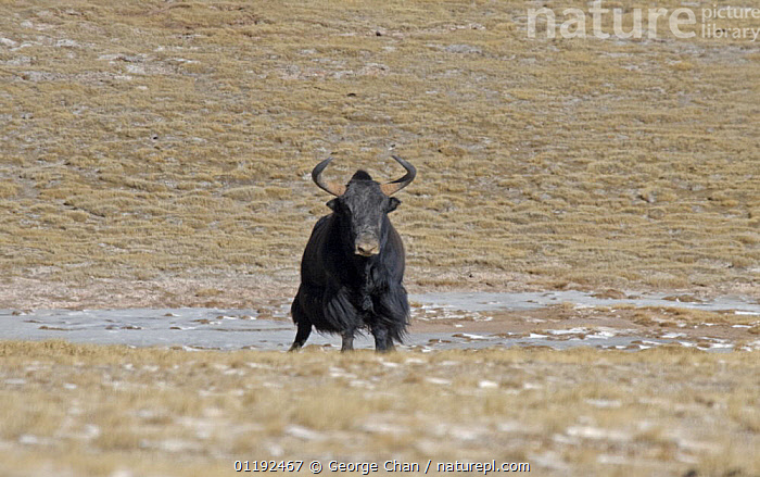 Wild Yak (Bos mutus) in the Chang Tang Nature Reserve of central Tibet. December 2006, ARTIODACTYLA,ASIA,BOVIDS,CATTLE,CHINA,GRASSLAND,LIVESTOCK,MAMMALS,NP,PORTRAITS,RESERVE,STEPPE,TIBET,TUNDRA,VERTEBRATES,National Park, George Chan
