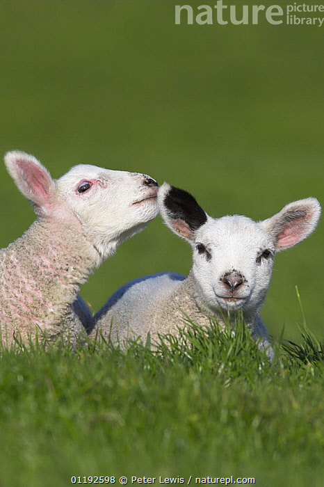 Two Lambs in field being affectionate, Dorset, UK  ,  ARTIODACTYLA,BABIES,BEHAVIOUR,BOVIDS,CUTE,EUROPE,INTERACTION,lamb,LIVESTOCK,MAMMALS,SHEEP,UK,VERTEBRATES,VERTICAL, United Kingdom, United Kingdom  ,  Peter Lewis