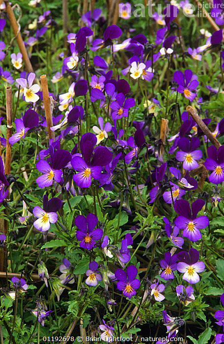 Wild pansy {Viola tricolor} and Field pansy {Viola arvensis} flowering in field, Scotland, UK  ,  DICOTYLEDONS,FLOWERS,MIXED SPECIES,PLANTS,PURPLE,SCOTLAND,UK,VIOLACEAE,WILDFLOWERS,Europe,United Kingdom,British  ,  Brian Lightfoot