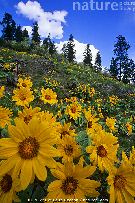 Arnica {Arnica sp} flowering on hillside, Okanagan valley, British Columbia, Canada, ASTERACEAE,CANADA,COMPOSITAE,DICOTYLEDONS,FLOWERS,LANDSCAPES,PLANTS,VERTICAL,YELLOW,North America, Louis Gagnon