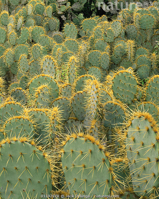 Dense stands of Prickly pear cactus (Opuntia sp) in Tamaulipas, Mexico, CACTACEAE,CACTI,CACTUS,CENTRAL AMERICA,CLOSE UPS,DICOTYLEDONS,GROUPS,MEXICO,PATTERNS,PLANTS,SPINES,THORNS,VERTICAL,Catalogue1, Jack Dykinga