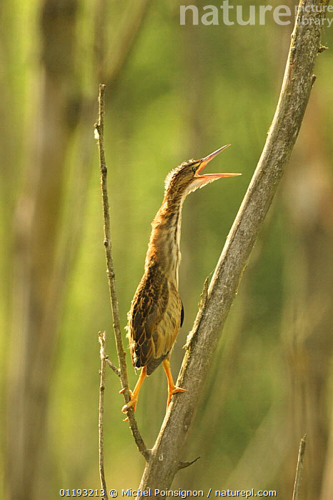 Little bittern chick (Ixobrychus minutus) perched on branch calling, Lorraine, France  ,  BEHAVIOUR,BIRDS,BITTERNS,EUROPE,FRANCE,JUVENILE,VERTEBRATES,VERTICAL,VOCALISATION  ,  Michel Poinsignon