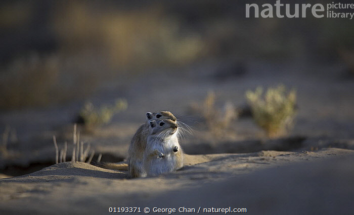 Nature Picture Library - Two Giant / Mongolian gerbils