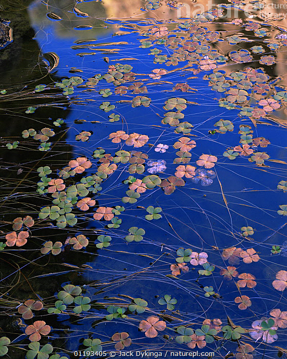 Water shamrocks / Water clover (Marsilea mucronata) floating on the surface of a canyon pool. Peck Canyon, Atascosa Mountains, Coronado National Forest, Arizona  ,  AQUATIC,ARIZONA,FERNS,MARSILEACEAE,NP,PLANTS,PONDS,POOLS,PTERIDOPHYTES,REFLECTIONS,RESERVE,USA,VERTICAL,North America,National Park  ,  Jack Dykinga
