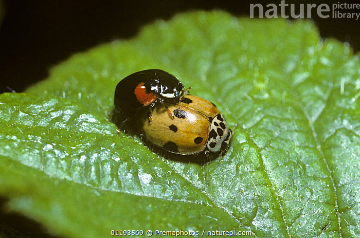 Ten-spot ladybird (Adalia 10-punctata), mating pair showing variation in colour and pattern, UK  ,  BEETLES,COCCINELLIDAE,COLEOPTERA,COLOUR DIMORPHISM,EUROPE,INSECTS,INVERTEBRATES,LADYBIRDS,MALE FEMALE PAIR,MATING BEHAVIOUR,MORPHISM,UK,United Kingdom,Reproduction,British  ,  Premaphotos
